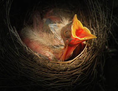 Photograph - Baby Bird In The Nest With Mouth Open by William Lee