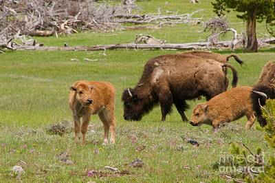 Photograph - Baby Bison by Sean Griffin