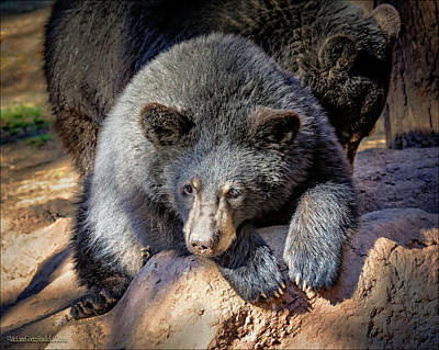 Photograph - Baby Black Bear  by LeeAnn McLaneGoetz McLaneGoetzStudioLLCcom