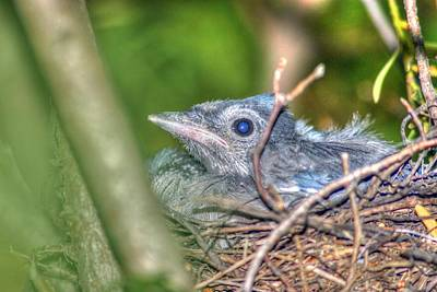 Flora And Fauna Photograph - Baby Blue Jay by Deborah Squires