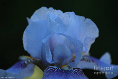 Photograph - Baby Blues by Susan Herber