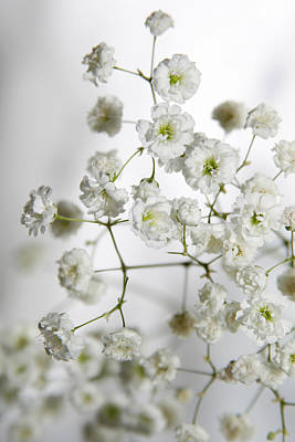 Photograph - Baby Breath Flowers by Masha Batkova