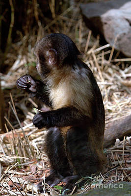 Photograph - Baby Brown Capuchin Monkey by Baggieoldboy