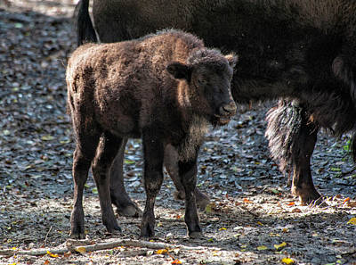 Photograph - Baby Buffalo by Cathie Crow