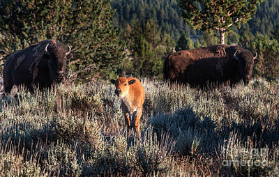 Photograph - Baby Buffalo by David Millenheft