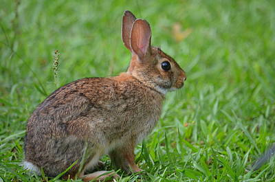 Photograph - Baby Bunny II by Maria Urso