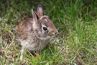 Photograph - Baby Bunny In Grass by Terry DeLuco