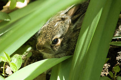 Michael Barry Photograph - Baby Bunny by Michael Barry