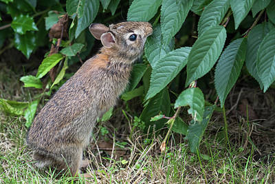 Photograph - Baby Bunny Reaching For A Leaf by Terry DeLuco
