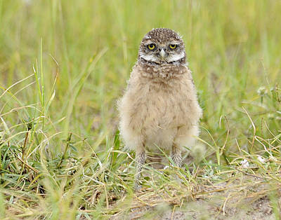 Baby Burrowing Owl Art Print by Keith Lovejoy