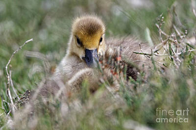 Photograph - Baby Canada Goose Hidden In The Grasses by Sue Harper