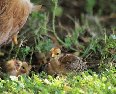 Baby Chick Art Print by Jeff Swan