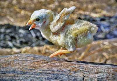 Photograph - Baby Chick by Savannah Gibbs