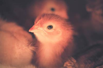Photograph - Baby Chick by Viviana  Nadowski