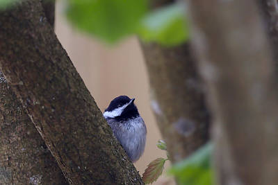 Chickadee Digital Art - Baby Chickadee 2 by Sharon Talson