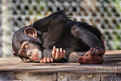 Photograph - Baby Chimpanzee Sleeping by Stephanie Hayes