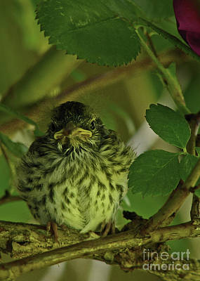 Art Print featuring the photograph Baby Chipping Sparrow  by Deborah Johnson