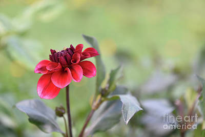 Photograph - Baby Dahlia All Aglow by Lois Bryan
