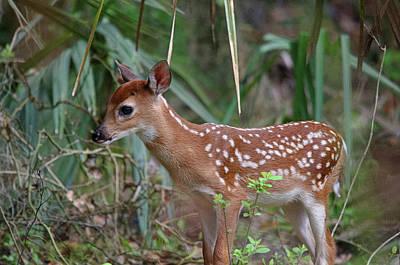 Photograph - Baby Deer by James Petersen