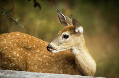 Photograph - Baby Deer by Tyra OBryant