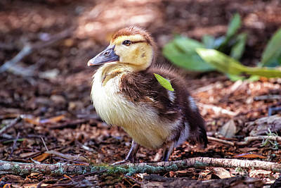 Photograph - Baby Duck Sitting by Stephanie Hayes
