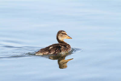 Photograph - Baby Duckling by Jackson Pearson
