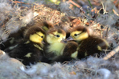 Photograph - Baby Ducklings - Just Hatched by rd Erickson