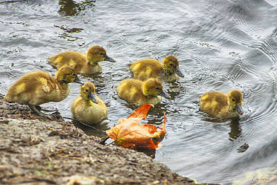 Photograph - Baby Ducks And Autumn Leaf by Diana Haronis