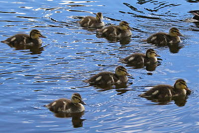 Photograph - Baby Ducks by Denise Mazzocco