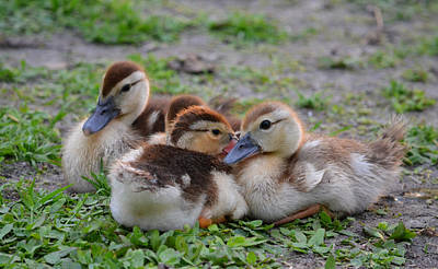 Photograph - Baby Ducks Ducklets by rd Erickson