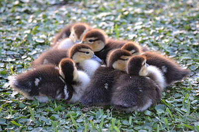 Photograph - Baby Ducks - Muscovy Duck by rd Erickson