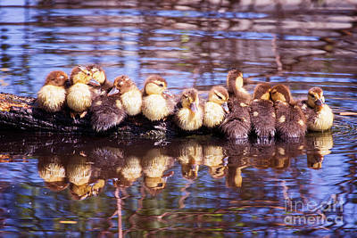 Photograph - Baby Ducks On A Log by Stephanie Hayes