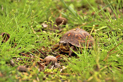 Photograph - Baby Eastern Box Turtle by Kristia Adams