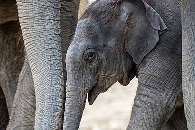 Photograph - Baby Elephant by Arterra Picture Library