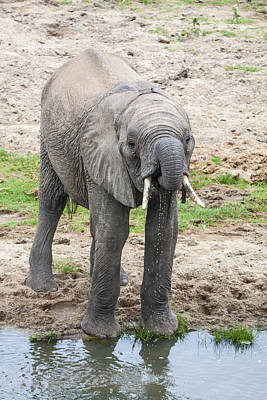Loxodanta Photograph - Baby Elephant Drinking by Sally Weigand