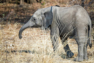 Photograph - Baby Elephant by Fran Gallogly