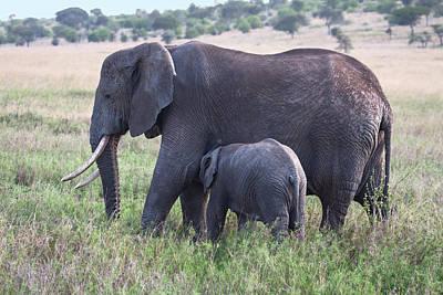 Loxodanta Photograph - Baby Elephant Nursing by Sally Weigand