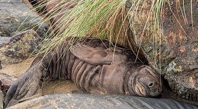 Photograph - Baby Elephant Seal by Loree Johnson