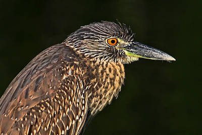 Juvenile Wall Decor Photograph - Baby Face - Yellow-crowned Night Heron  by HH Photography of Florida