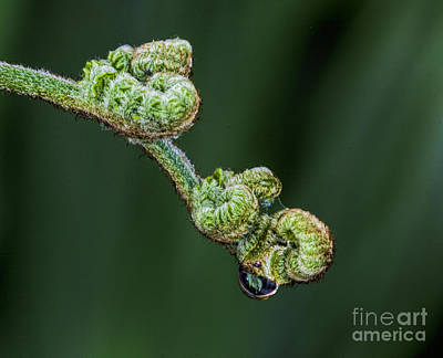 Photograph - Baby Fern by Shirley Mangini
