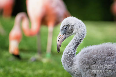 Photograph - Baby Flamingo With Mom In Background by Stephanie Hayes