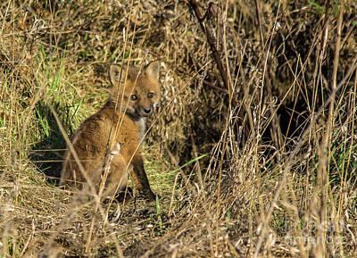 Photograph - Baby Fox by Cheryl Baxter