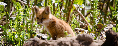 Photograph - Baby Fox by Crystal Wightman