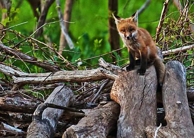 Photograph - Baby Fox by Edward Peterson