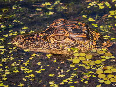 Amphibians Photograph - Baby Gator And Duckweed by Zina Stromberg