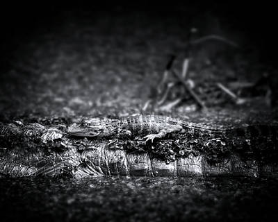 Photograph - Baby Gator And Mother by Mark Andrew Thomas