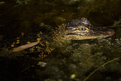 Photograph - Baby Gator by Brent L Ander