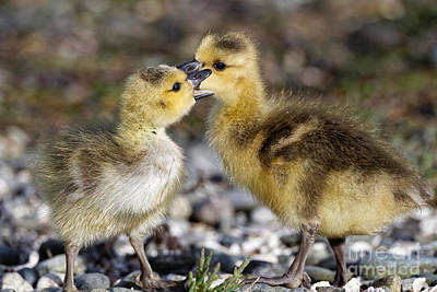 Photograph - Baby Geese Having A Spat by Sue Harper