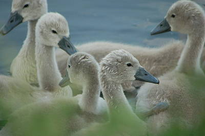 Photograph - Baby Geese by Lucia Vicari