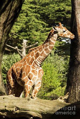 Photograph - Baby Giraffe 2 by Suzanne Luft